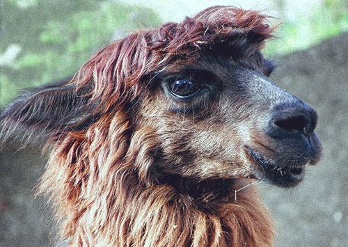 Extremely Photogenic Alpaca