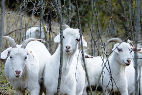 Bande de chèvres