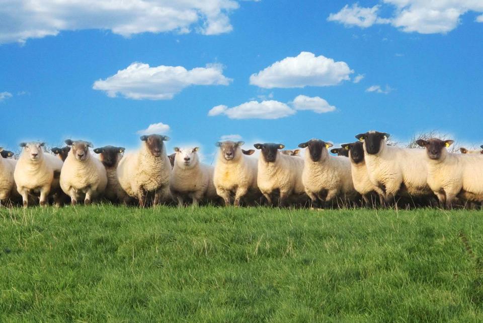 moutons-laine