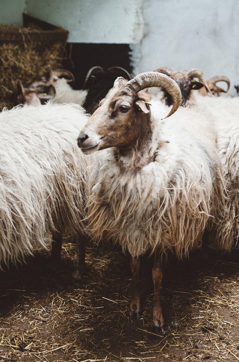 Mouton Laine Mouton Laine Cachemire